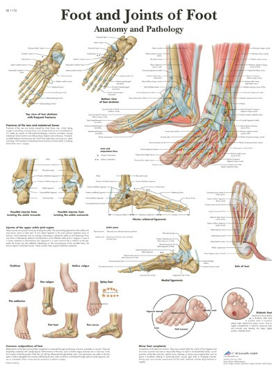 All Products - Wandkaart: Foot And Joints Of Foot