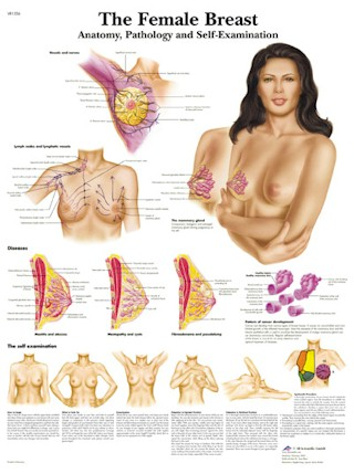 All Products - Wandkaart: The Female Breast