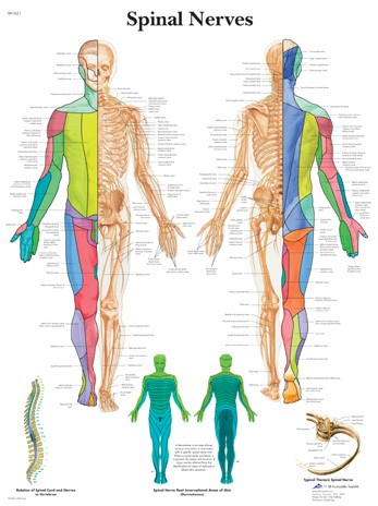 All Products - Wandkaart: Spinal Nerves